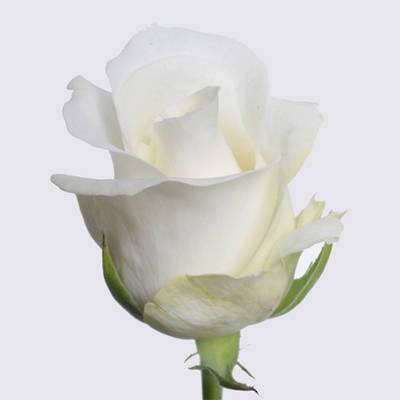 Akito Rose Plant