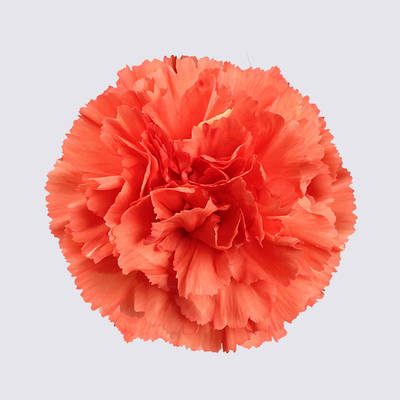 Orange Sweetie Carnation Plant