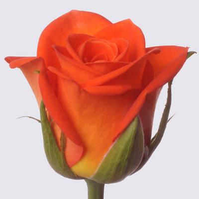 Royal Pumpkin! Rose Plant