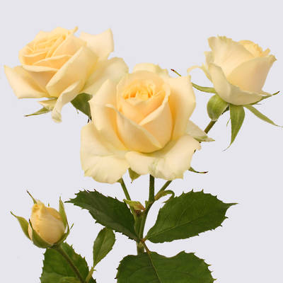Salinero Spray Rose