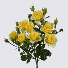 4-Good Yellow+ Spray Rose Plant