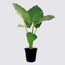 Alocasia Elephant Ear (macrorrhiza) 20cm Pot Plant