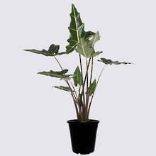 Alocasia Sarian 20cm Pot Plant