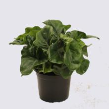 Philodendron Atom (Philodendron selloum) 14cm Pot Plant