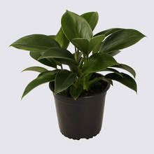 Philodendron Green Princess 14cm Pot Plant