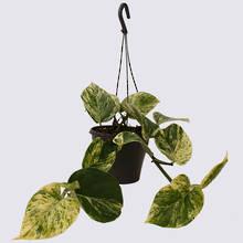 Marble Queen (Epipremnum aureum) 17cm Hanging Pot Plant