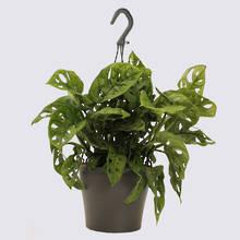 Monstera Monkey Mask 17cm Hanging Pot Plant
