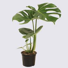 Monstera Deliciosa 14cm Pot Plant