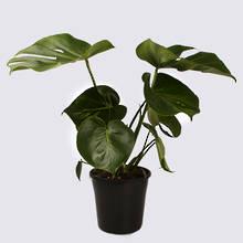 Monstera Deliciosa 20cm Pot Plant
