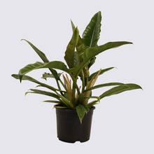 Philodendron Narrow 14cm Pot Plant