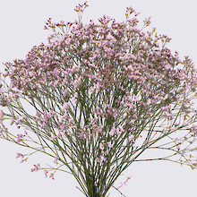 Pink Touch Limonium