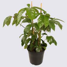 Umbrella Tree (Schefflera Amate) 20cm Pot Plant
