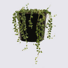 String of Pearls (Senecio rowleyanus) 14cm Pot Plant
