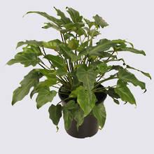 Philodendron Xanadu (Philodendron selloum) 20cm Pot Plant