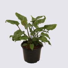 Philodendron Xanadu (Philodendron selloum) 14cm Pot Plant