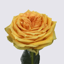 Lemon Finesse Rose Plant