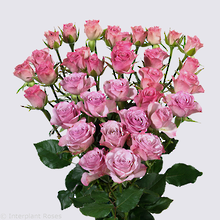 Rowena Spray Rose Plant