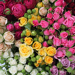 Assorted Spray Roses - Thumb