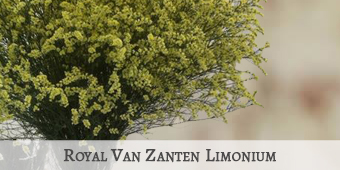 Royal Van Zanten Limo